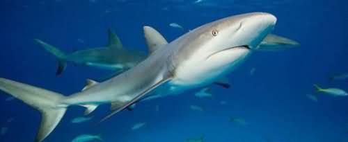 为什么把鲨鱼翻过来它会进入昏睡状态?